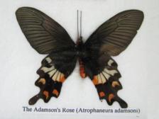 Adamson`s Rose