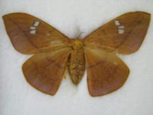 Arctiidae moths sp.