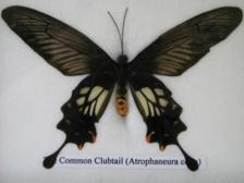 Common Club Tail