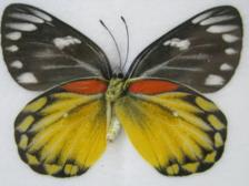 Red-spot Jezebel