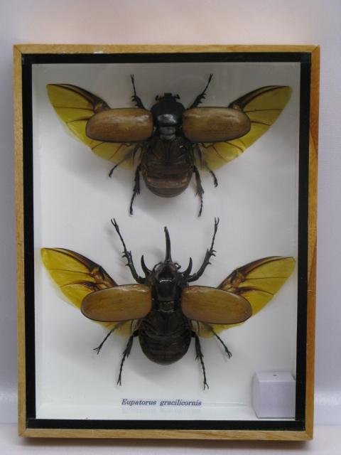2 eupatorus gracilicornis m f echte exotische insekten. Black Bedroom Furniture Sets. Home Design Ideas