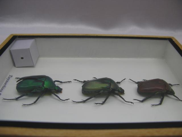 3 torynorrhina flammea echte exotische insekten im. Black Bedroom Furniture Sets. Home Design Ideas