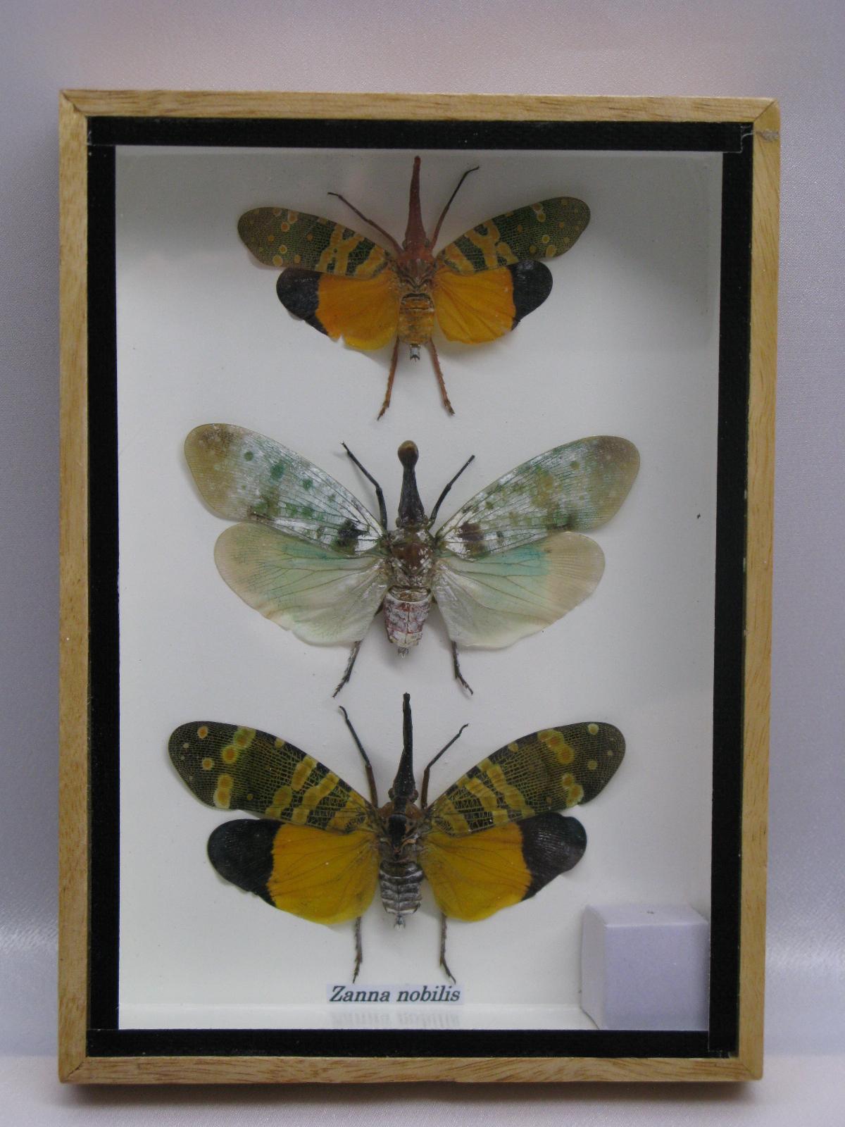 3 x zanna nobilis echte exotische insekten im. Black Bedroom Furniture Sets. Home Design Ideas
