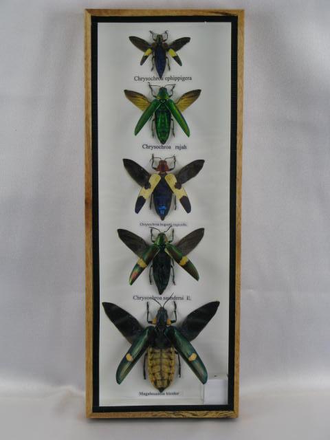 5 echte exotische insekten im schaukasten aus holz und glas. Black Bedroom Furniture Sets. Home Design Ideas
