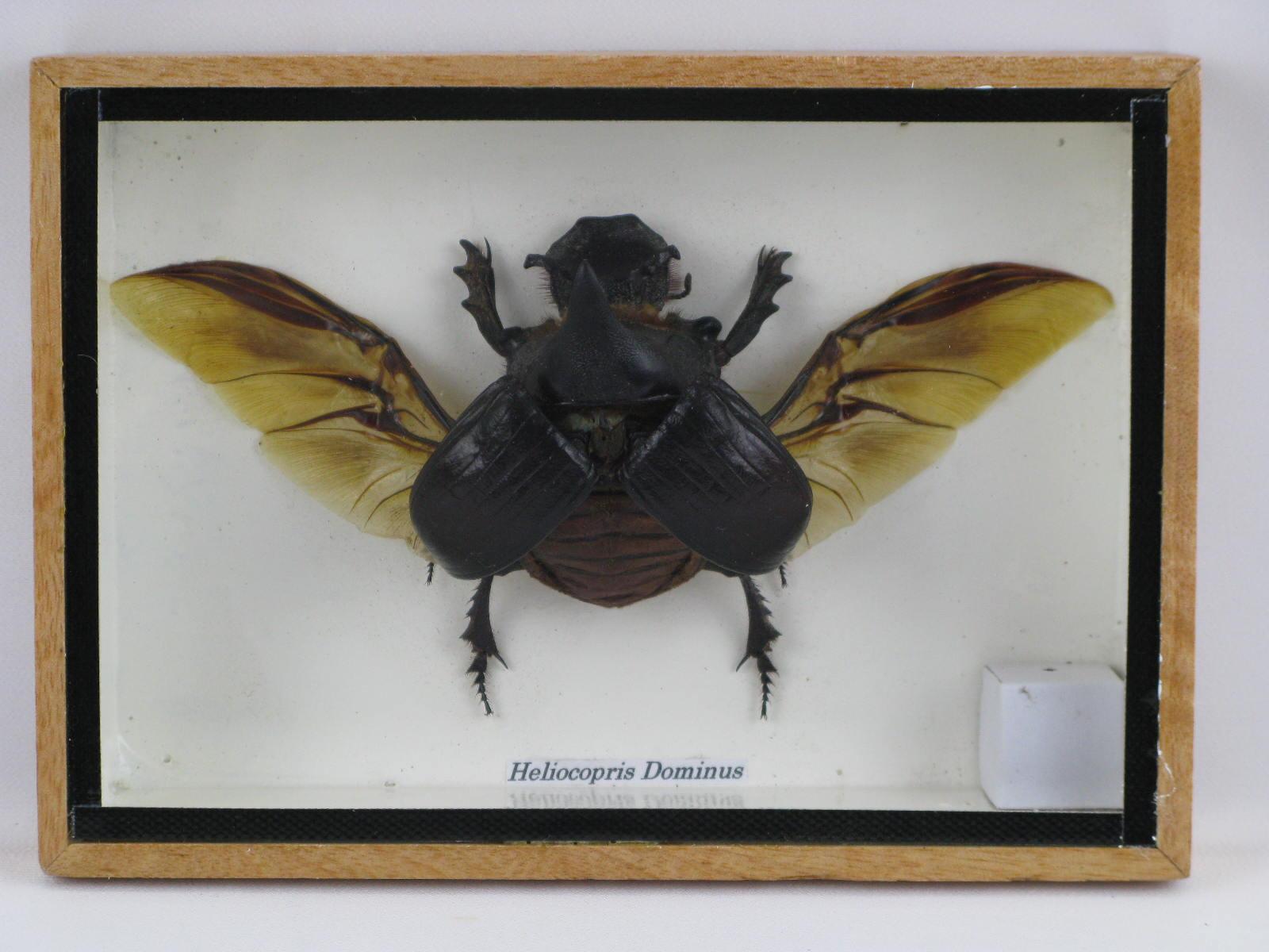 heliocopris dominus echtes insekt im schaukasten aus. Black Bedroom Furniture Sets. Home Design Ideas