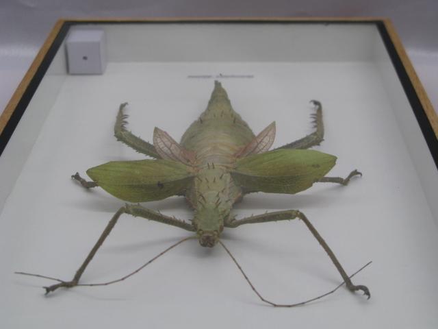 3 sternocera aeguisignata echte exotische insekten im. Black Bedroom Furniture Sets. Home Design Ideas