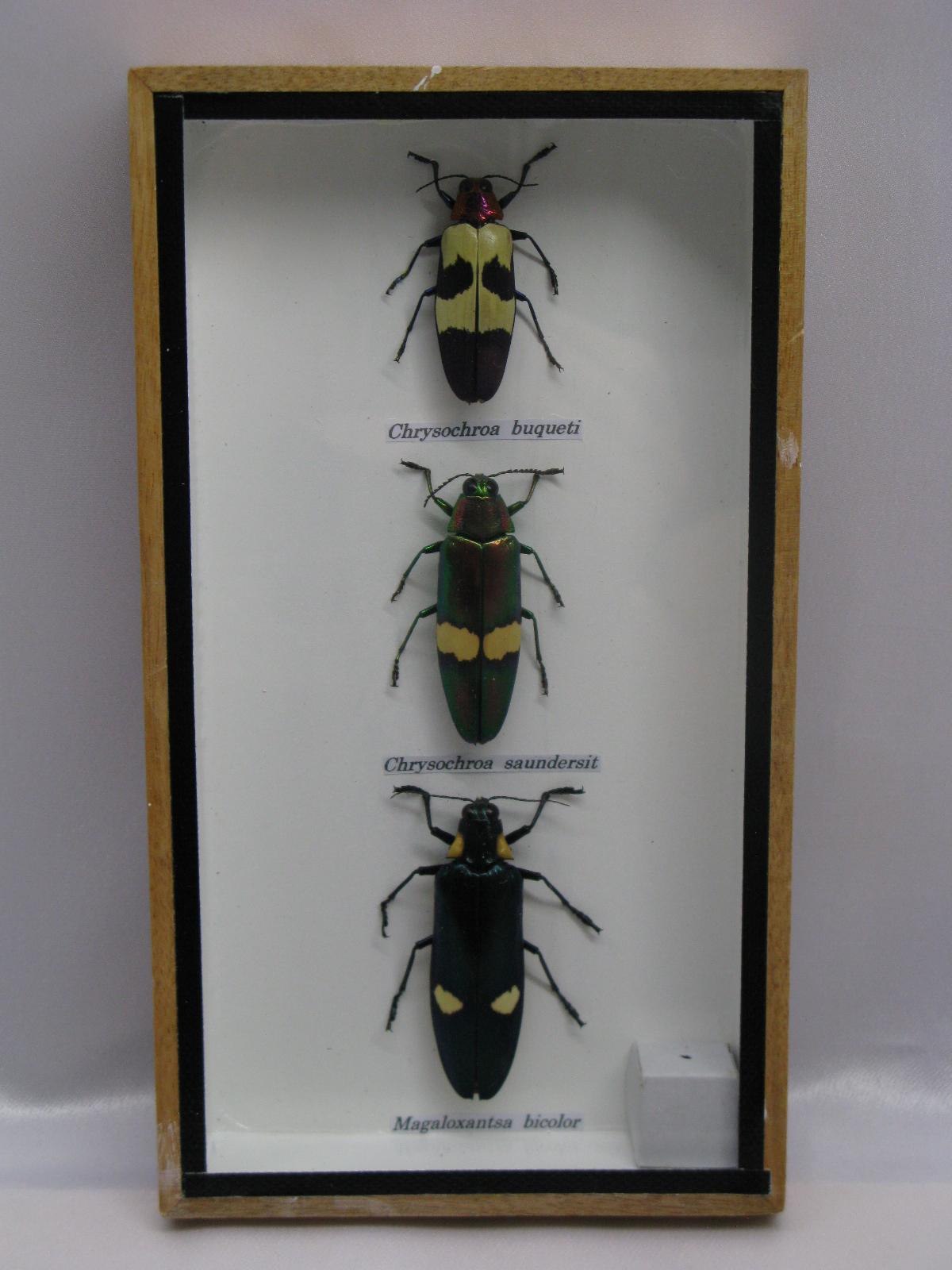 3 x echte insekten im mix echte exotische insekten im. Black Bedroom Furniture Sets. Home Design Ideas