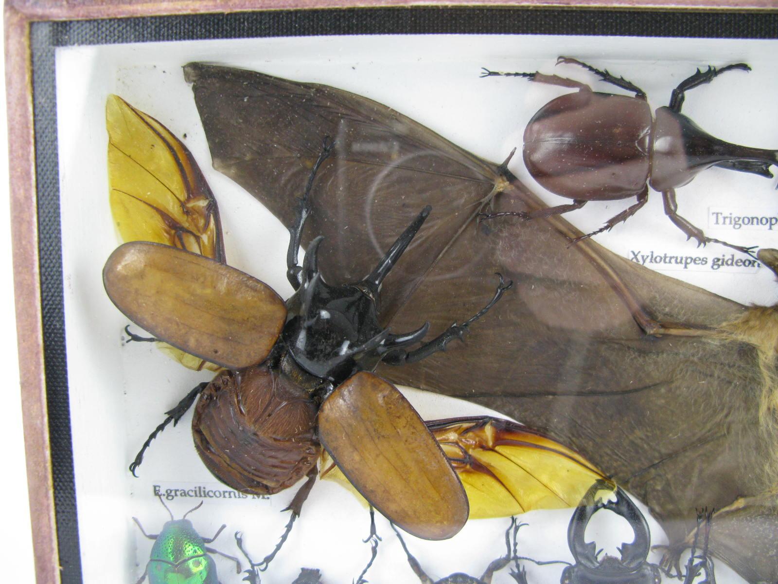 echte exotische insekten sehr gro schaukasten. Black Bedroom Furniture Sets. Home Design Ideas