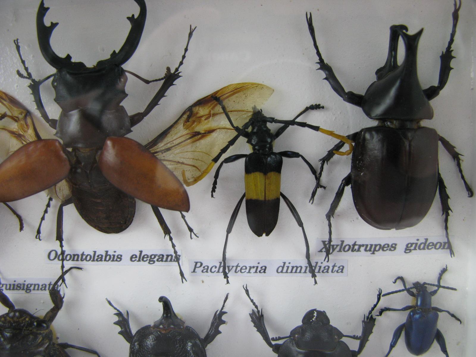 11 echte exotische insekten einmalig im schaukasten. Black Bedroom Furniture Sets. Home Design Ideas