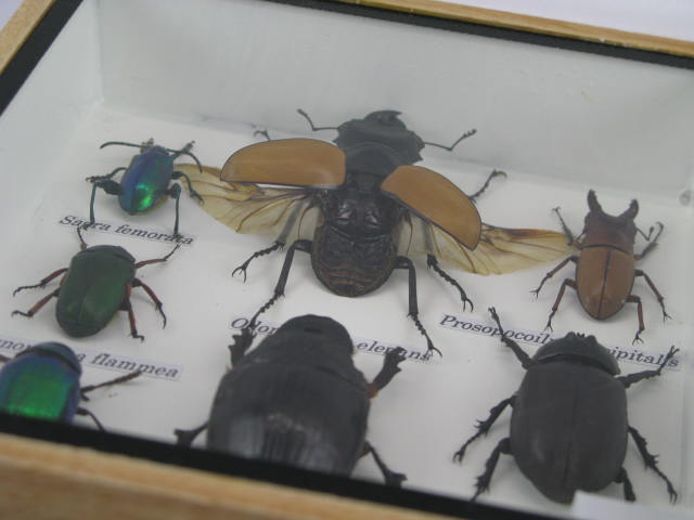 9 echte exotische insekten einmalig im schaukasten aus. Black Bedroom Furniture Sets. Home Design Ideas