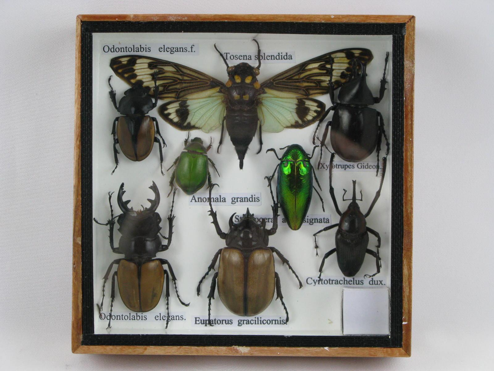 8 echte exotische insekten einmalig im schaukasten aus. Black Bedroom Furniture Sets. Home Design Ideas