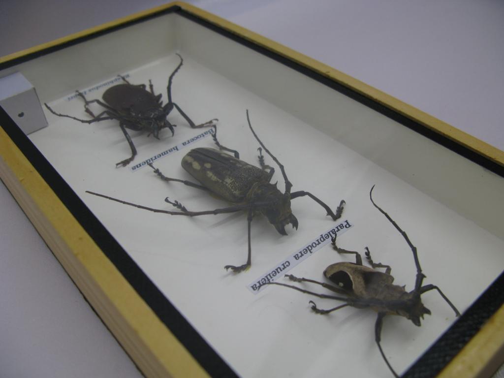echte exotische insekten einmalig im schaukasten aus holz. Black Bedroom Furniture Sets. Home Design Ideas