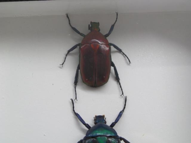 3 torynorrhona flammea im mix echte exotische insekten. Black Bedroom Furniture Sets. Home Design Ideas