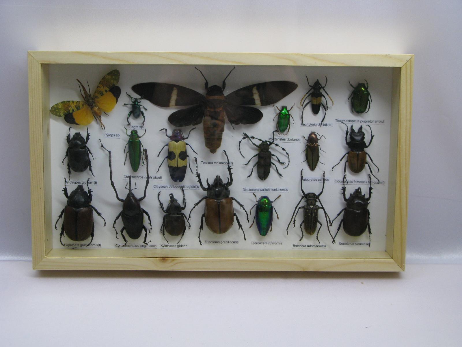 19 echte exotische insekten sehr gro im schaukasten. Black Bedroom Furniture Sets. Home Design Ideas