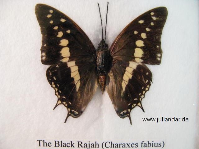Black Rajah