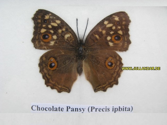 Chocolate Pansy