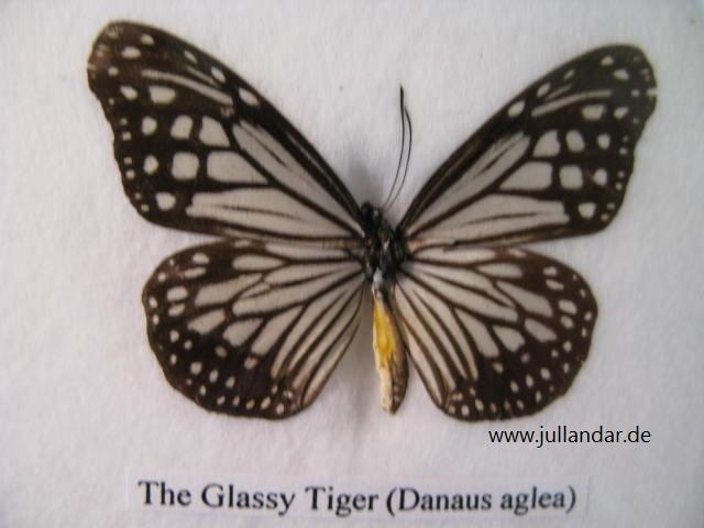 Glassy Tiger
