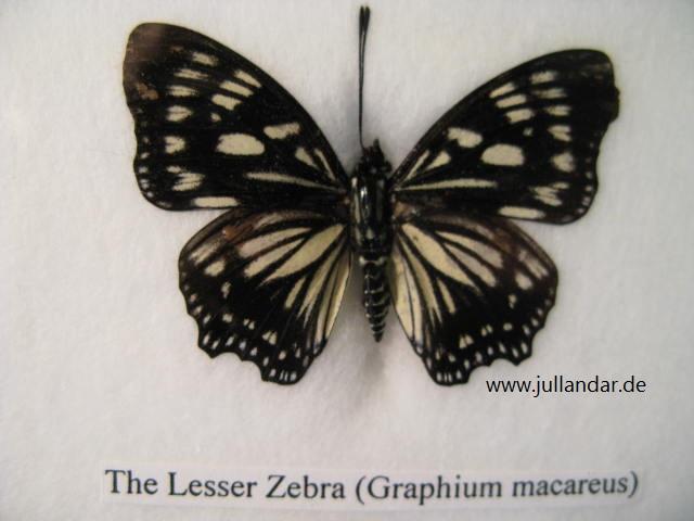 Lesser Zebra