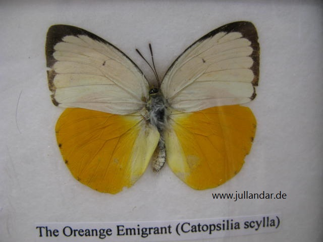 Orange Emigrant