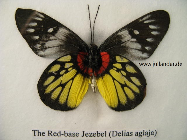 Red-base Jezebel